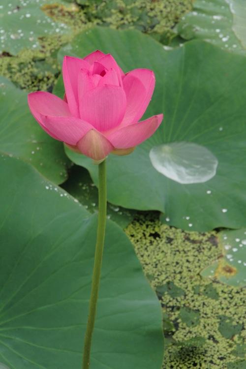 Lotus rosey-.jpg