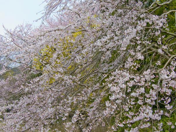 sakura yellow.jpg